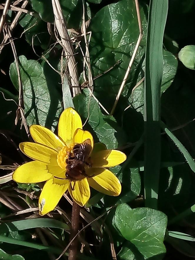 BEE ON CELANDINE01.jpg